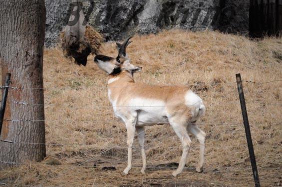 プロングホーン4 金沢動物園