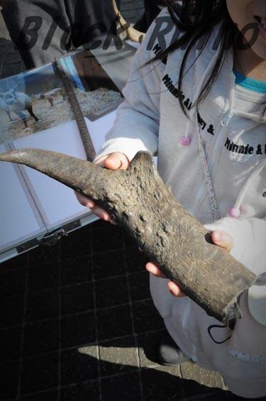 プロングホーン8 金沢動物園
