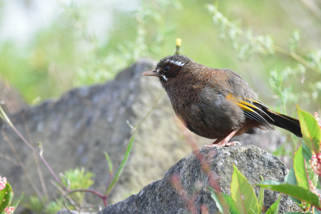 夏山の野鳥〜ギンバネホイビイ(2)