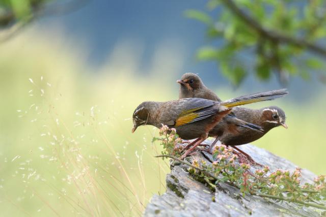 夏山の野鳥〜ギンバネホイビイ(1)
