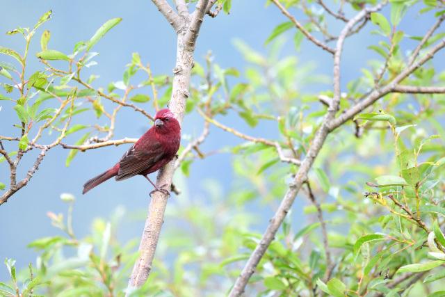 夏山の野鳥〜タカサゴマシコ(1)