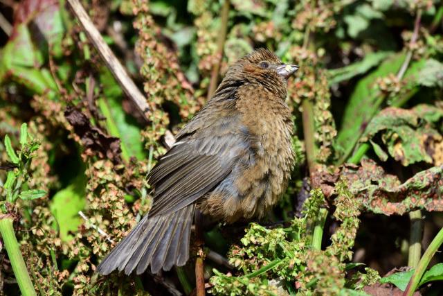 夏山の野鳥〜タカサゴマシコ(4)