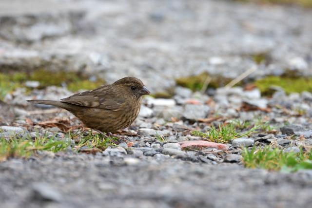 夏山の野鳥〜タカサゴマシコ(2)
