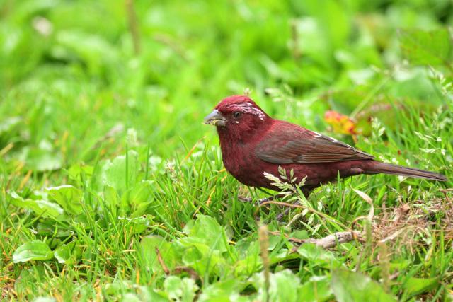 夏山の野鳥〜タカサゴマシコ(3)