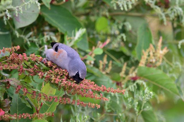 夏山の野鳥〜タカサゴウソ(3)