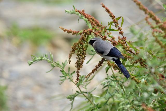 夏山の野鳥〜タカサゴウソ(1)