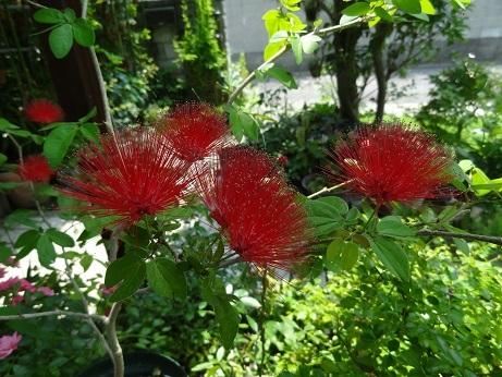 20170715 012四季咲きナムの木