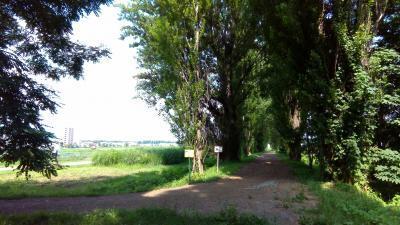北大農学部ポプラ並木