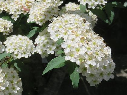 コデマリ  (1)