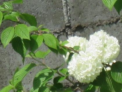 オオデマリ  (3)