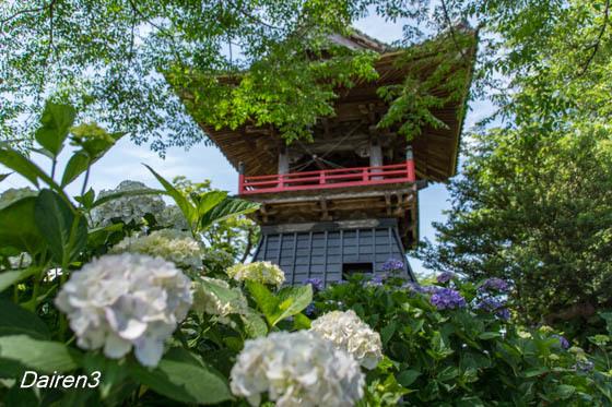 熊谷市能護寺のアジサイ