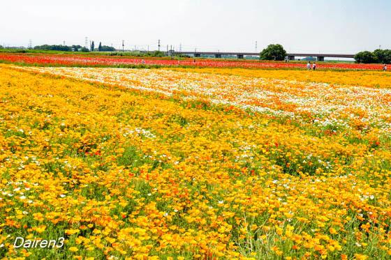 鴻巣市ポピー畑