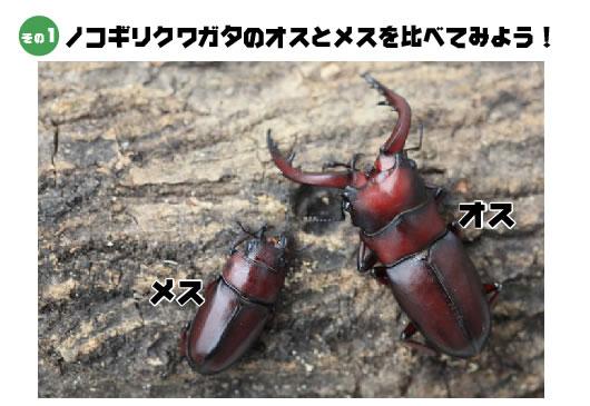 nokokuwa.jpg