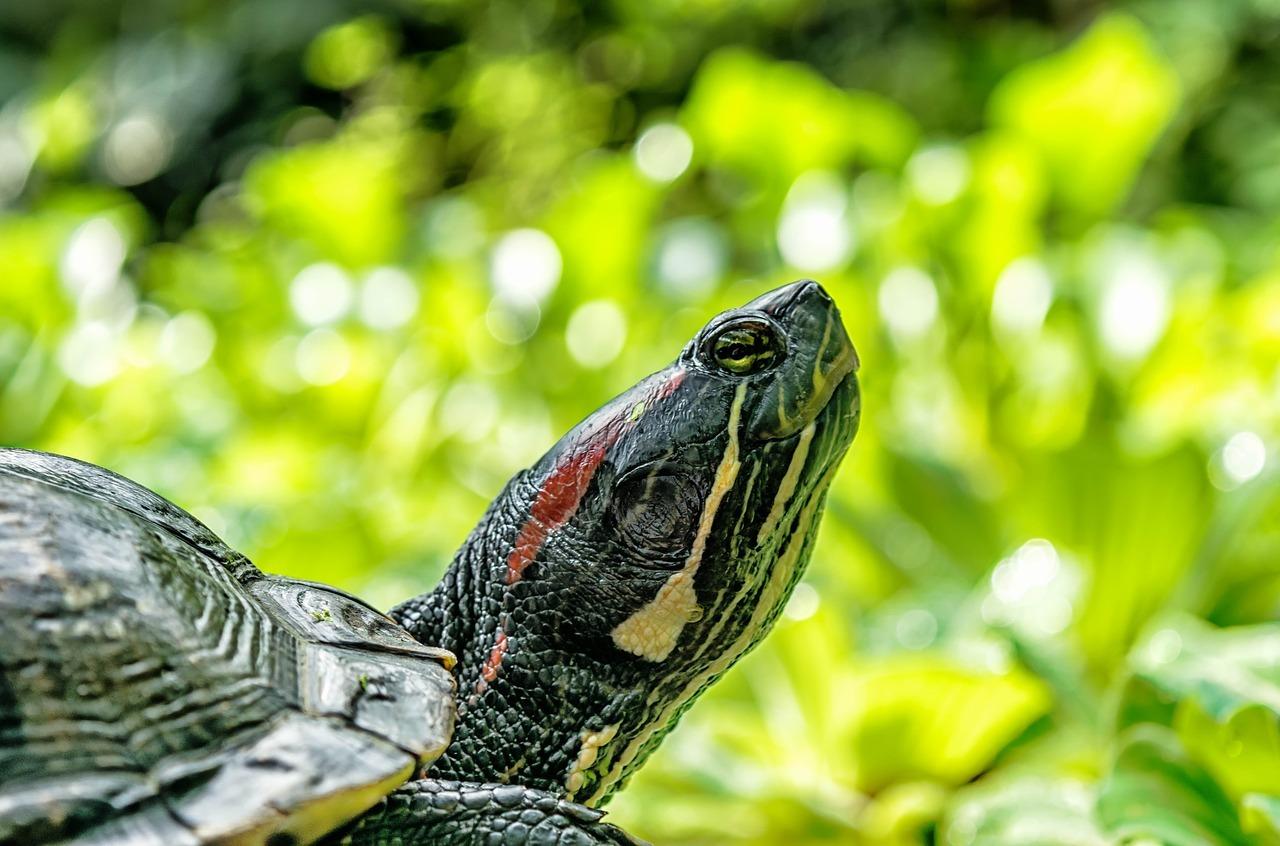 turtle-1592892_1280.jpg