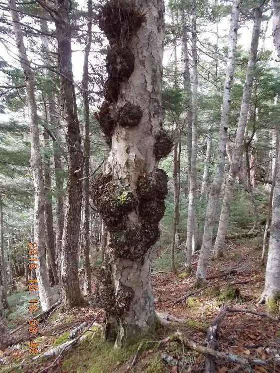 もこもこの木