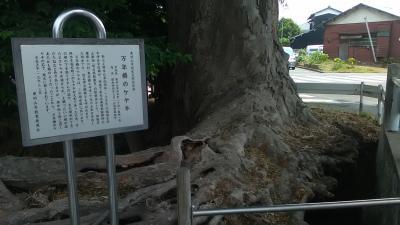 2017年6月大ケヤキ