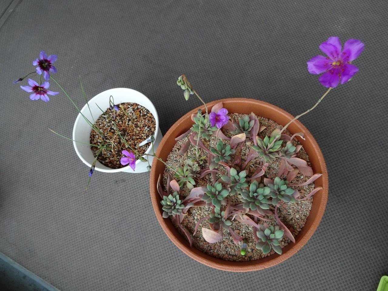 アンデスの花