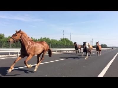 【衝撃!】高速道路を走る馬!