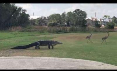 【苦笑】ゴルフ場に普通にワニがいるって・・・・・どうなんだ?!
