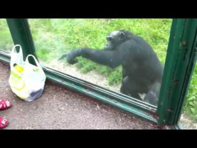 【笑える!】人間みたいで生意気なチンパンジー!