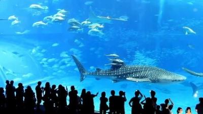 【衝撃!】水族館のマグロがガラスに激突して死亡!(観覧注意)