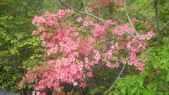 竜神ダム左岸側遊歩道の花