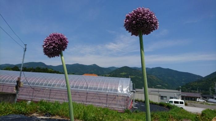 大玉ニンニクの花