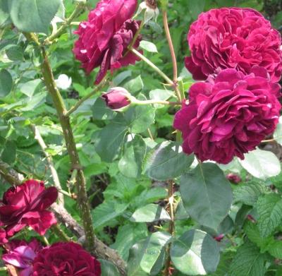 薔薇、トラディスカント
