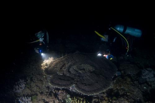 サンゴの産卵 2017.3