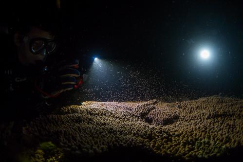サンゴの産卵 2017.5