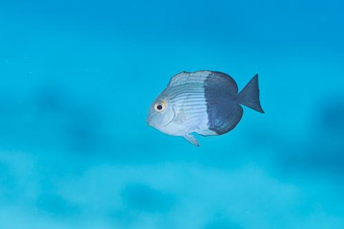 ヒラニザ 幼魚