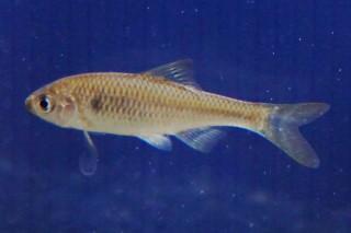 ヤリタナゴ雌(水上)