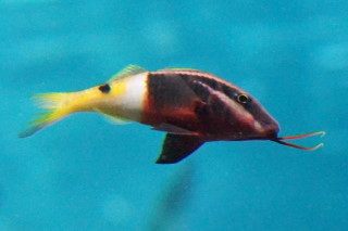 インドヒメジ(池袋)