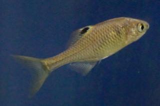 タイリクバラタナゴ雌(水上)