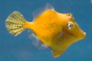 アミメハギ(魚津)