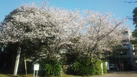 4月14日 鹿児島大学の桜