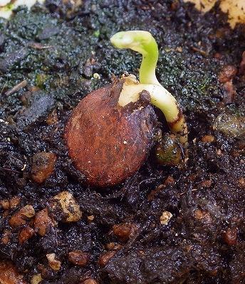 フジ 種  発芽
