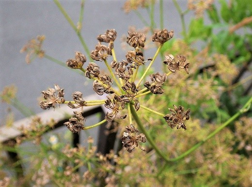 パセリ 種