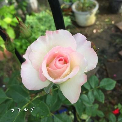 二番花 マチルダ