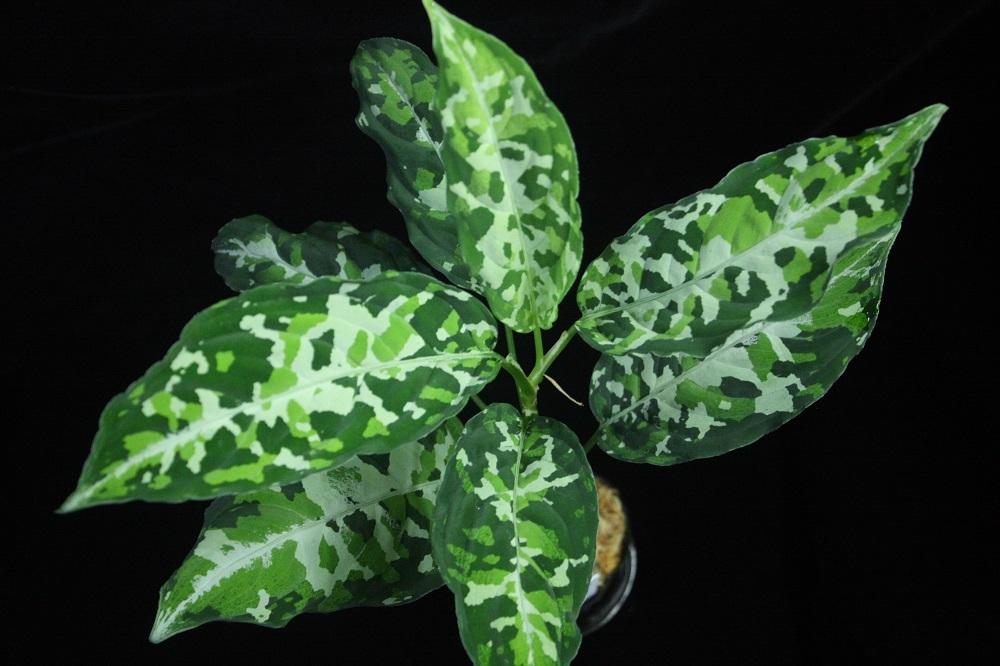 Aglaonema pictum Kronos