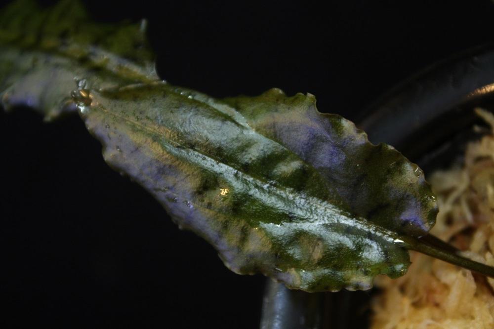 Cryptocoryne cordata TIGER STRIPE Mersing utara