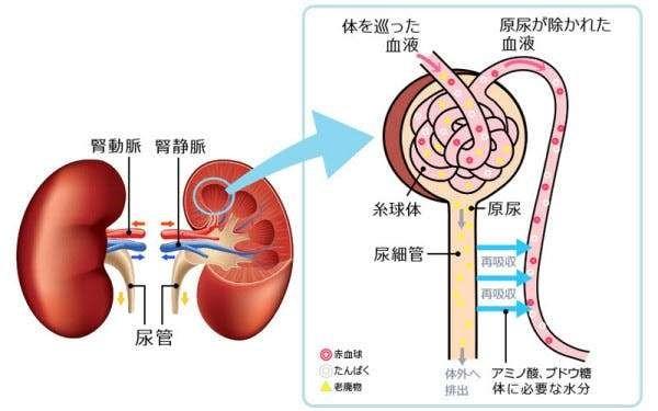腎臓機能を知ろう