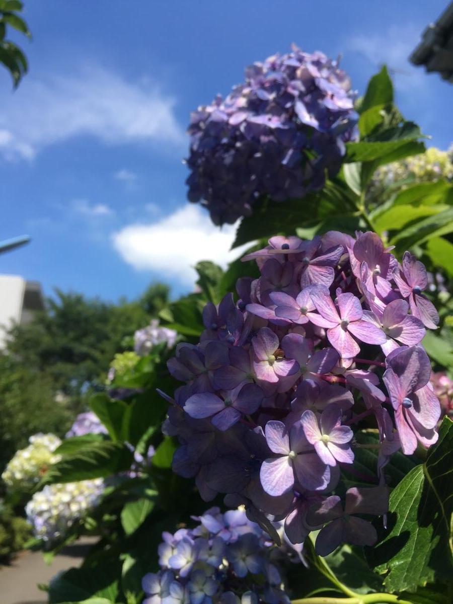 紫陽花2017