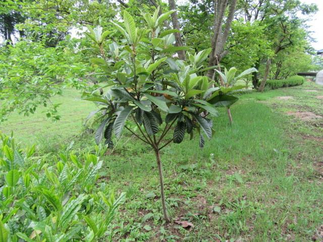 白ビワの木