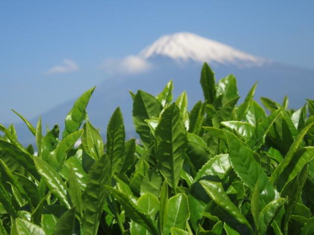 お茶の木と富士山