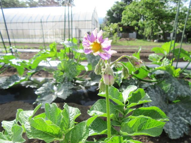 メークインの花