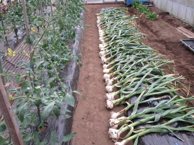 ジャンボにんにくの収穫