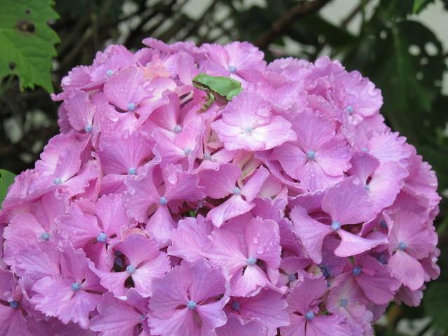 紫陽花のカエル