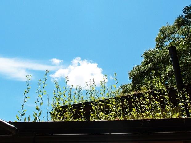 空に向かって咲くハルジオン