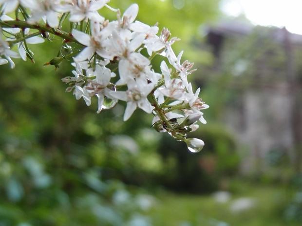 オカトラノオのは花穂の水滴